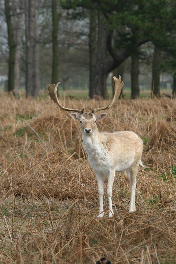 A Fallow buck in Bushy Park
