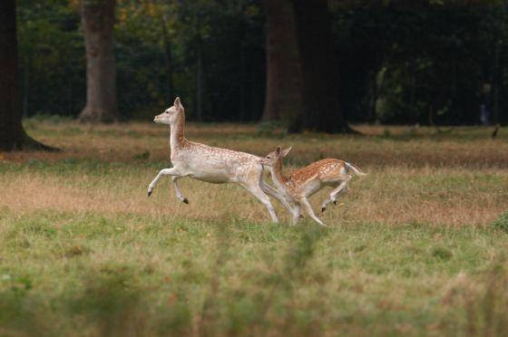 Fallow Deer in Greenwich Park