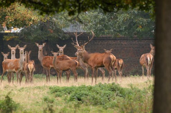 Red deer in Greenwich Park