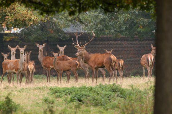 Red deer in Greenwich Park