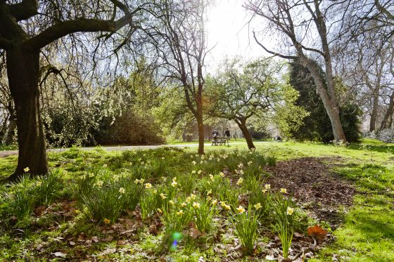 Daffodils in Kensington Gardens
