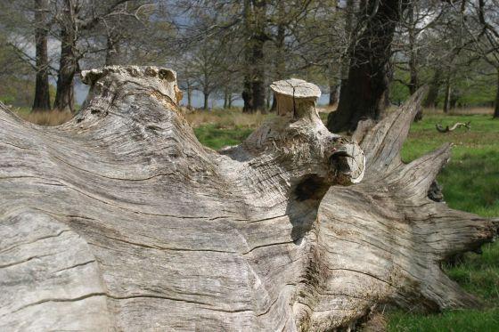 Fallen tree in Kidney Wood