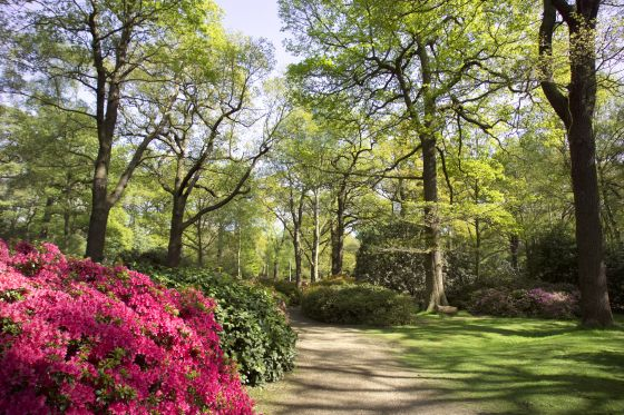 Pink Rhododendrons in the Isabella Plantation