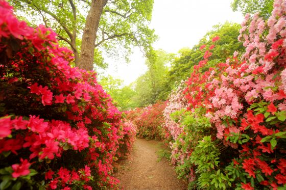 Rhododendrons in Isabella Plantation