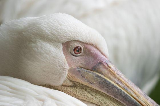 Pelican's eye