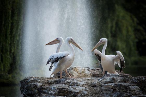 Pelicans on Pelican Rock