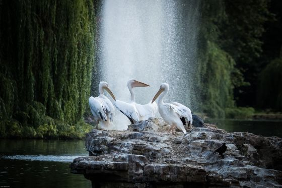 Pelicans in front of the Tiffany Fountain