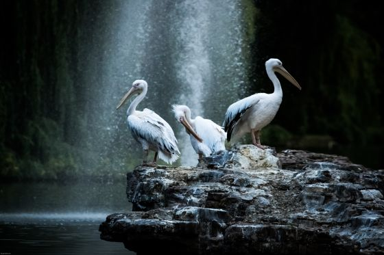 Three pelicans on Pelican Rock