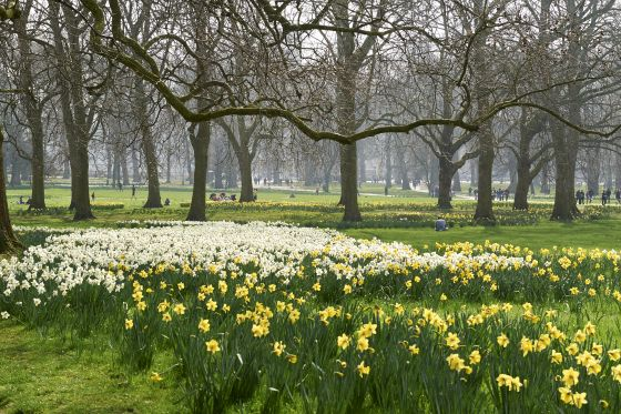 Daffodils in The Green Park