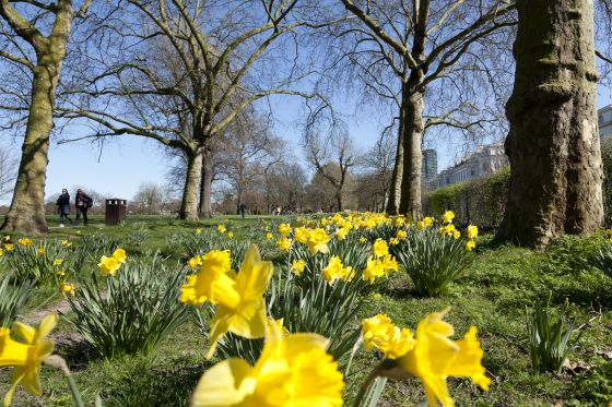 Daffodils in The Regent's Park