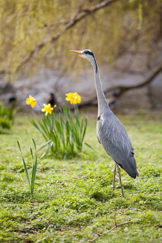 Heron and Daffodils